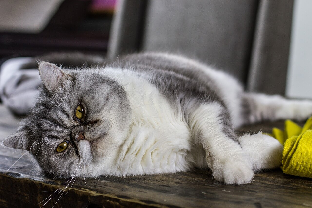 cat obesity: how to help your cat lose weight