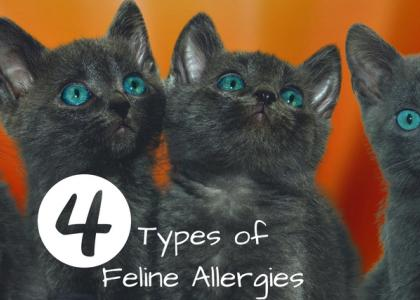 Four Types of Feline Allergies