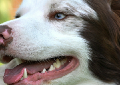 Your Dog's Best Dental Health