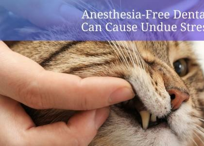 anesthesia-free cat dental