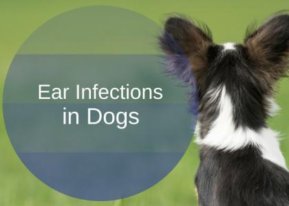 Ear Infections in Dogs